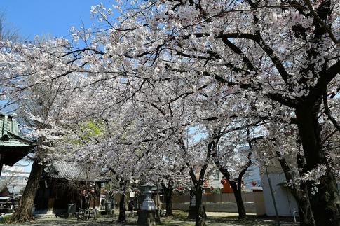 2019-04-06  Resized  熊谷市(千形神社)‥ (5).jpg