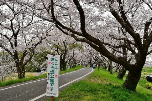2019-04-07  Resized  吉見桜堤‥ (1).jpg
