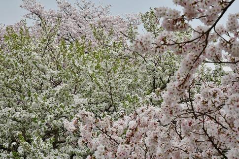 2019-04-07  Resized  吉見桜堤‥ (16).jpg