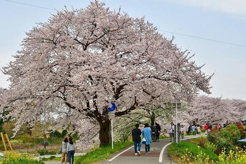 2019-04-07  Resized  吉見桜堤‥ (20).jpg