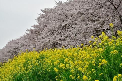 2019-04-07  Resized  吉見桜堤‥ (6).jpg