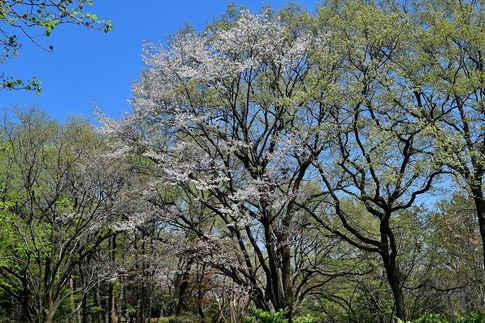 2019-04-13  A-Resized  武蔵丘陵森林公園‥ (17).jpg