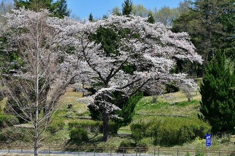 2019-04-13  A-Resized  武蔵丘陵森林公園‥ (5).jpg