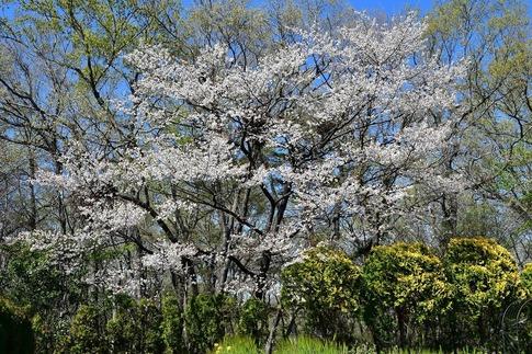 2019-04-13  B-Resized  武蔵丘陵森林公園‥ (16).jpg