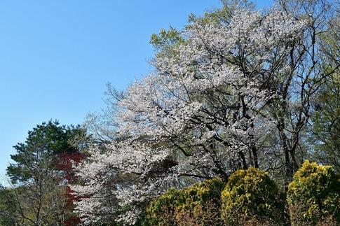 2019-04-13  B-Resized  武蔵丘陵森林公園‥ (18).jpg