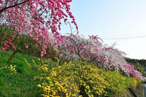 2019-04-20  A-Resized  花桃街道(小夜戸・大畑)群馬県みどり市‥ (14).jpg