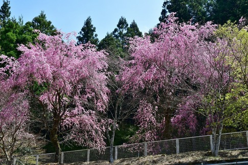 2019-04-20  Resized  鹿沼市草久(瑞峯寺)‥ (5).jpg