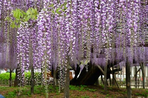 2019-04-27  A-Resized  玉敷神社‥ (9).jpg