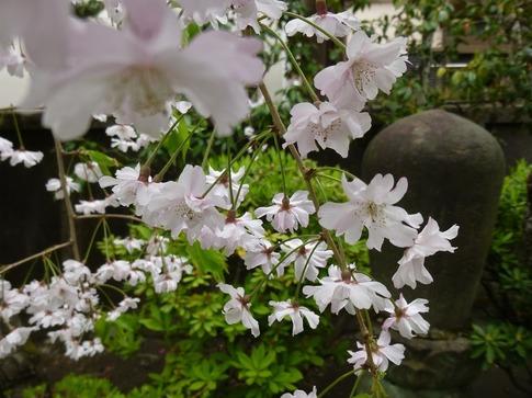 2019-04 14  Resized  浄正寺‥ (2).jpg