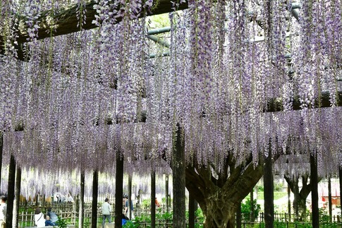 2019-05-03  Resized  玉敷神社の藤ほか‥ (10).jpg