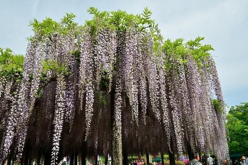 2019-05-03  Resized  玉敷神社の藤ほか‥ (11).jpg