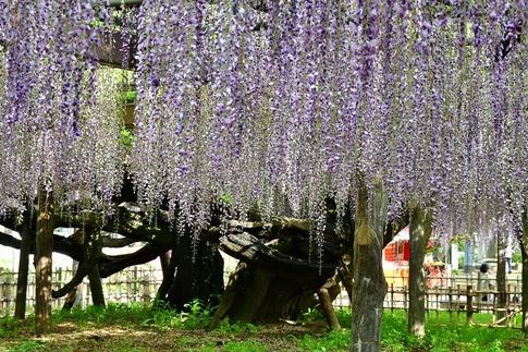 2019-05-03  Resized  玉敷神社の藤ほか‥ (13).jpg