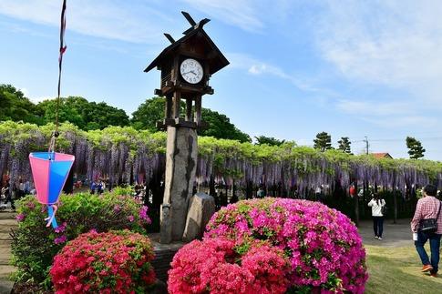 2019-05-03  Resized  玉敷神社の藤ほか‥ (3).jpg