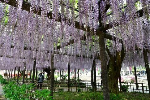 2019-05-03  Resized  玉敷神社の藤ほか‥ (7).jpg