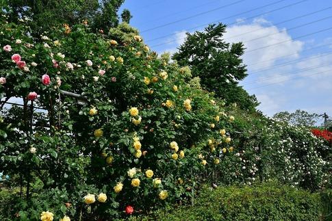 2019-05-19  A-Resized  平成の森公園(埼玉県比企郡川島町)‥ (11).jpg