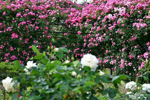 2019-05-19  A-Resized  平成の森公園(埼玉県比企郡川島町)‥ (18).jpg