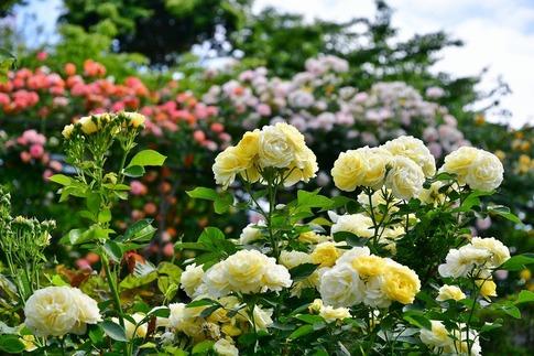 2019-05-19  A-Resized  平成の森公園(埼玉県比企郡川島町)‥ (23).jpg