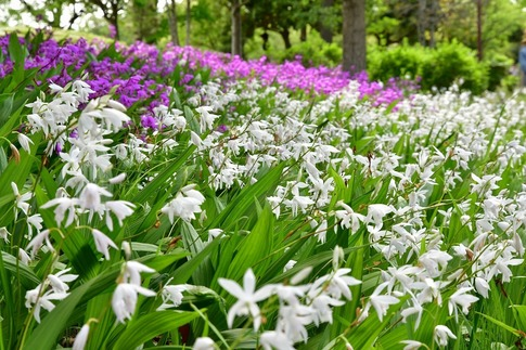 2019-05-19  A-Resized  平成の森公園(埼玉県比企郡川島町)‥ (25).jpg