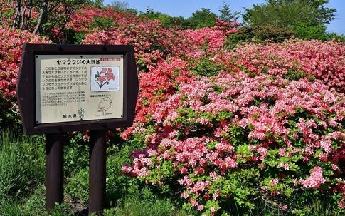 2019-05-25  A-Resized  那須八幡つつじ園地‥ (4).jpg