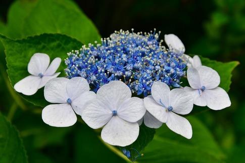 2019-06-30  A-Resized  玉敷神社の紫陽花‥ (5).jpg