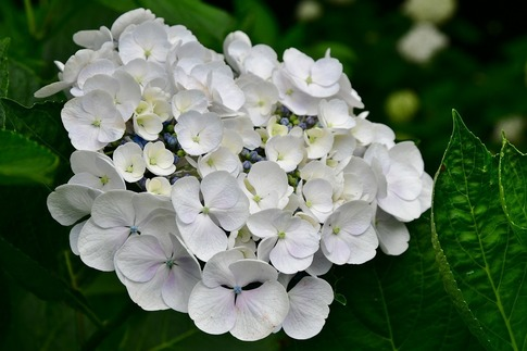 2019-06-30  A-Resized  玉敷神社の紫陽花‥ (7).jpg