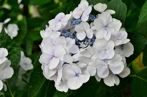 2019-06-30  B-Resized  玉敷神社の紫陽花‥ (2).jpg