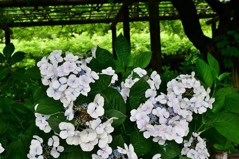 2019-06-30  B-Resized  玉敷神社の紫陽花‥ (4).jpg