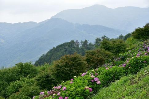 2019-07-06  A-Resized  美の山の紫陽花‥ (10).jpg