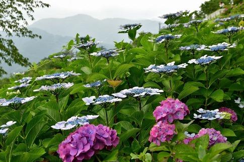 2019-07-06  A-Resized  美の山の紫陽花‥ (11).jpg