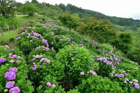 2019-07-06  A-Resized  美の山の紫陽花‥ (1).jpg