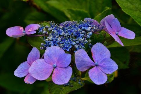 2019-07-06  A-Resized  美の山の紫陽花‥ (16).jpg