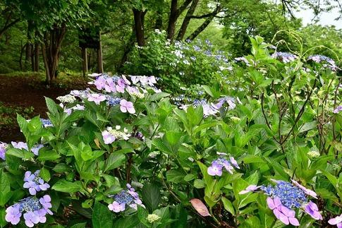 2019-07-06  A-Resized  美の山の紫陽花‥ (17).jpg