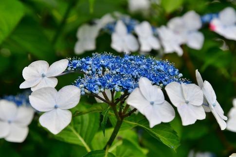 2019-07-06  A-Resized  美の山の紫陽花‥ (18).jpg
