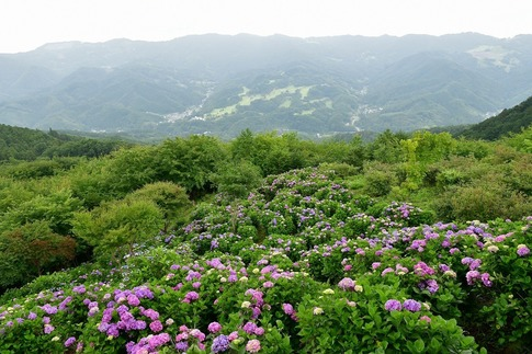 2019-07-06  A-Resized  美の山の紫陽花‥ (2).jpg