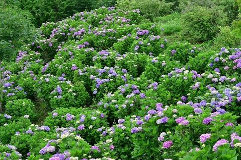 2019-07-06  A-Resized  美の山の紫陽花‥ (3).jpg