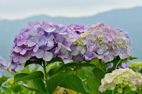 2019-07-06  A-Resized  美の山の紫陽花‥ (4).jpg