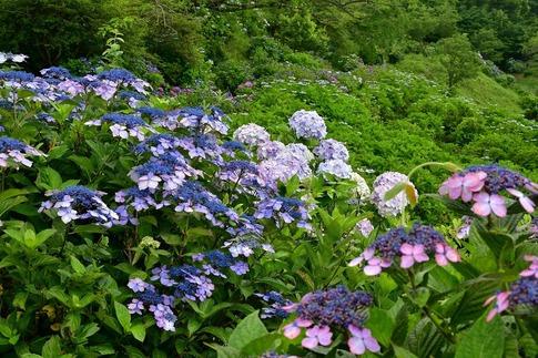 2019-07-06  A-Resized  美の山の紫陽花‥ (6).jpg
