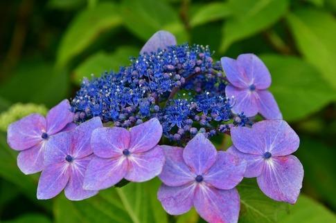 2019-07-06  A-Resized  美の山の紫陽花‥ (7).jpg