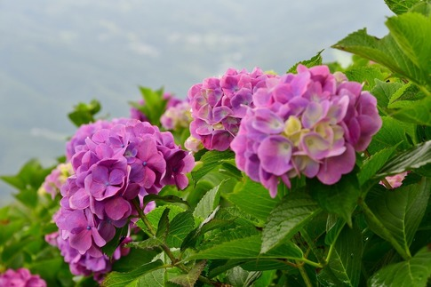 2019-07-06  A-Resized  美の山の紫陽花‥ (8).jpg