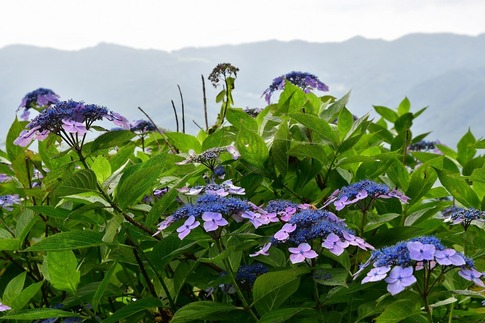 2019-07-06  B-Resized  美の山の紫陽花‥ (1).jpg