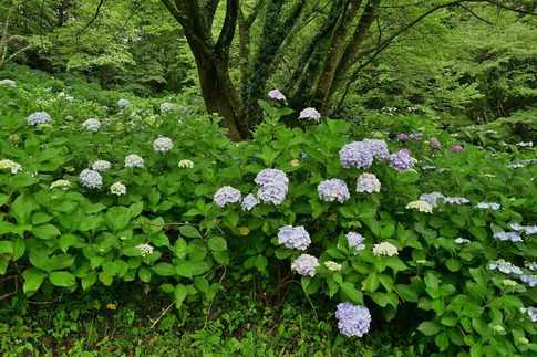 2019-07-06  B-Resized  美の山の紫陽花‥ (13).jpg