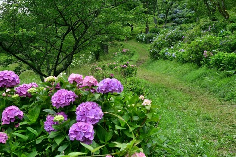 2019-07-06  B-Resized  美の山の紫陽花‥ (16).jpg