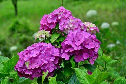 2019-07-06  B-Resized  美の山の紫陽花‥ (18).jpg