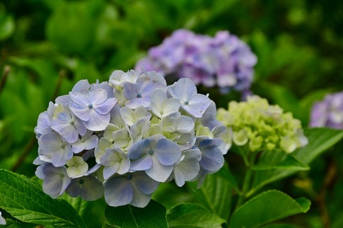 2019-07-06  B-Resized  美の山の紫陽花‥ (19).jpg