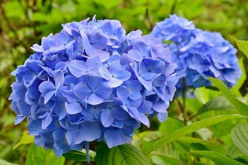 2019-07-06  B-Resized  美の山の紫陽花‥ (4).jpg