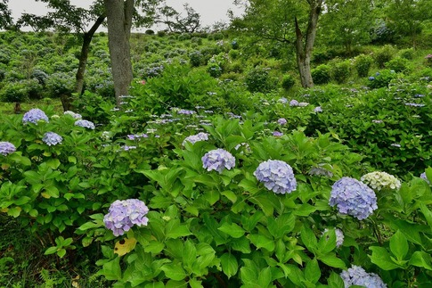 2019-07-06  B-Resized  美の山の紫陽花‥ (6).jpg