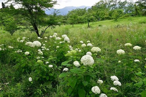 2019-07-06  B-Resized  美の山の紫陽花‥ (7).jpg