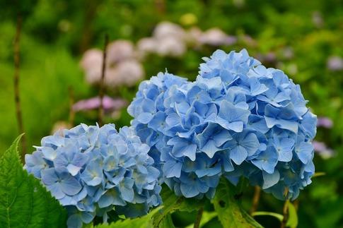2019-07-06  B-Resized  美の山の紫陽花‥ (9).jpg