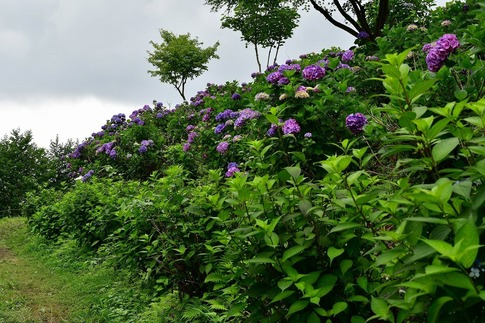 2019-07-06  C-Resized  美の山の紫陽花‥ (2).jpg