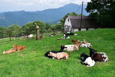 2019-07-06  Resized  秩父高原牧場の山羊‥ (2).jpg